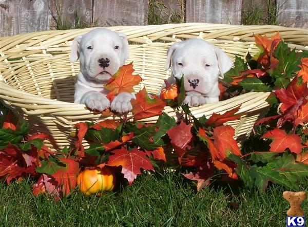 dogo argentino breeders in california. dogo argentino breeders in california