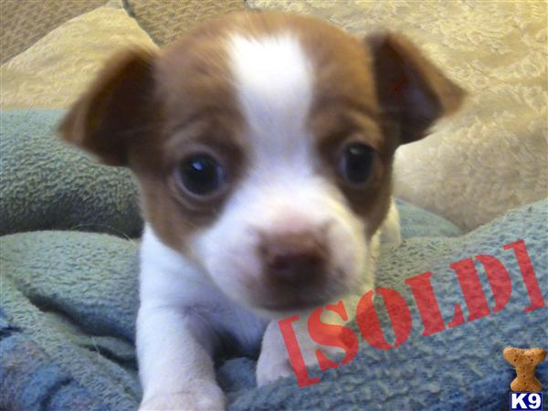 chihuahua for sale in va document moved 6992
