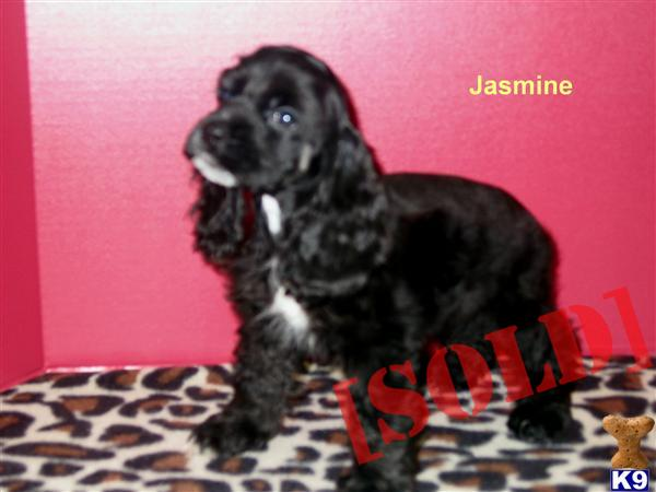 cocker spaniel puppies for sale in texas document moved 844