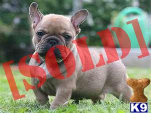 french bulldog puppies for sale long island document moved 1511
