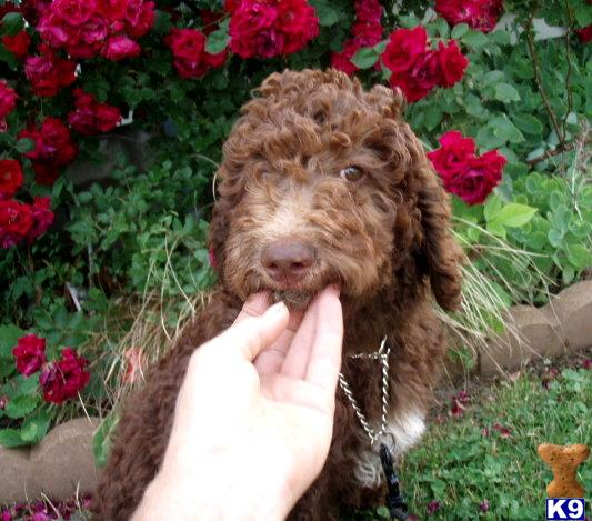 goldendoodle puppies for sale. Goldendoodles Puppies in OH; red goldendoodle puppies for sale.