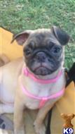 pug puppy posted by 492 CH KENNELS