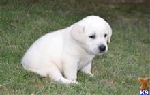 labrador retriever puppy posted by 4crosskennels
