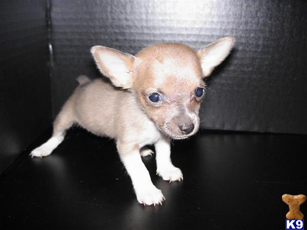 Rat Terrier Puppy For Sale 5280 Toy Rat Terriers Toy Rat Terrier
