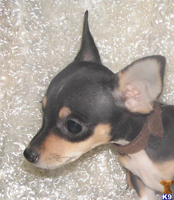 teacup rat terrier rat terrier puppy for sale 5280 toy rat terriers tiny tot 838