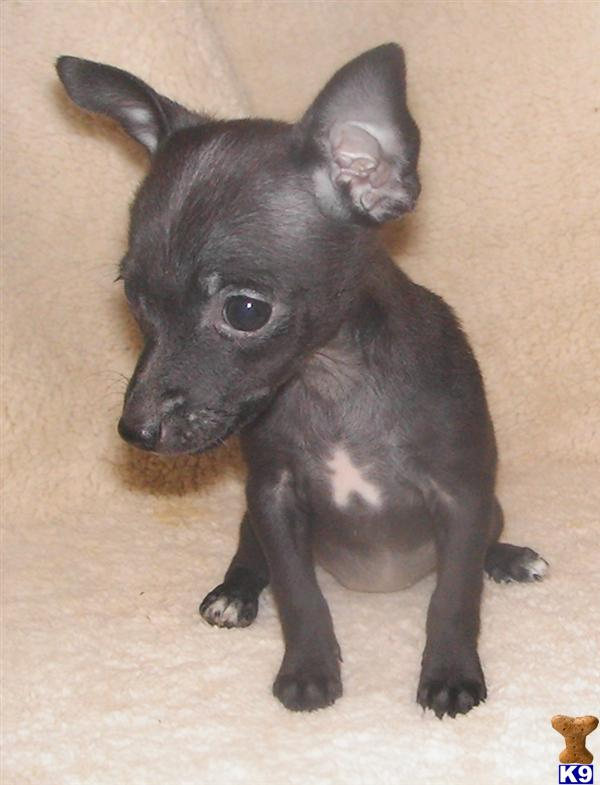 teacup rat terrier rat terrier puppy for sale 5280 toy rat terriers tiny tot 7741