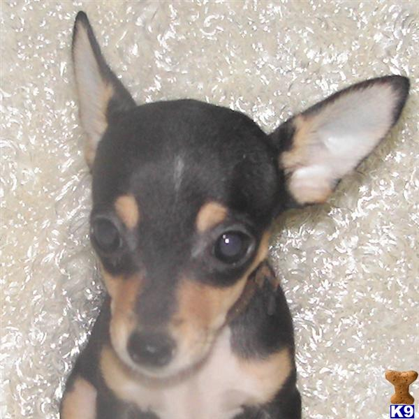 teacup rat terrier rat terrier puppy for sale 5280 toy rat terriers tiny tot 6804