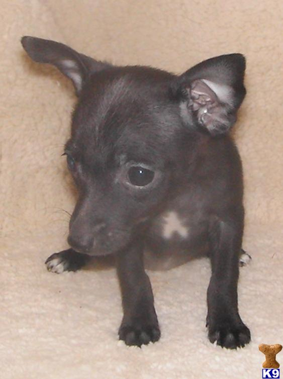 teacup rat terrier rat terrier puppy for sale 5280 toy rat terriers tiny tot 1674