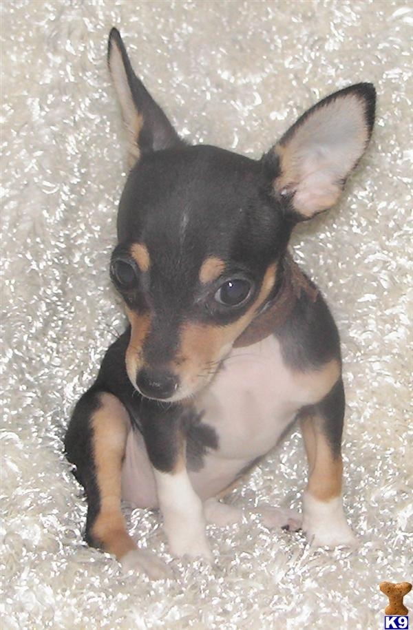 teacup rat terrier rat terrier puppy for sale 5280 toy rat terriers tiny tot 4773