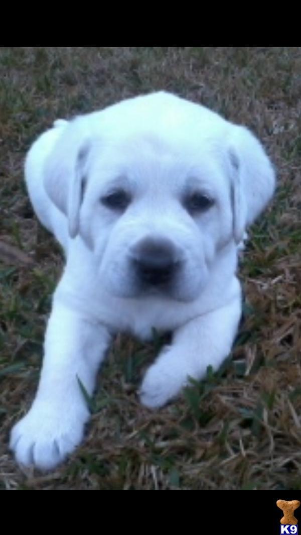 Akc polar white lab puppies in waller