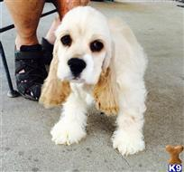 cocker spaniel puppy posted by 95669