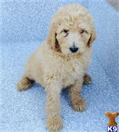 poodle puppy posted by 95669