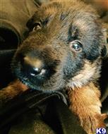 german shepherd puppy posted by A1kennel