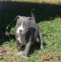 american pit bull puppy posted by AB0wers
