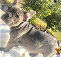french bulldog puppy posted by ALuna30