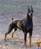 doberman pinscher puppy posted by APACHE-kennels