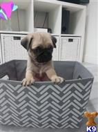 pug puppy posted by Aberlineis