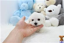 maltese puppy posted by Ace Puppy