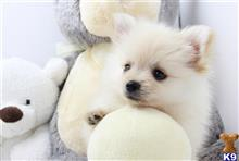 pomeranian puppy posted by Ace Puppy