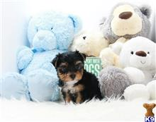 yorkshire terrier puppy posted by Ace Puppy