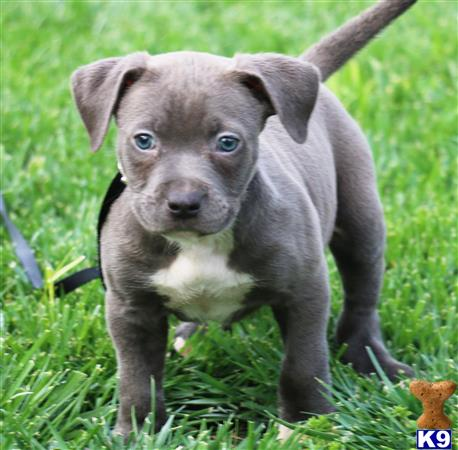 american pit bull puppy posted by Affordable Pups