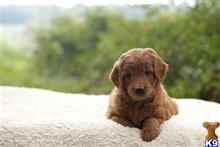 goldendoodles puppy posted by Albarkkennels