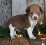 beagle puppy posted by Alicemarrow