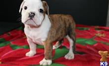 bulldog puppy posted by Alicemarrow