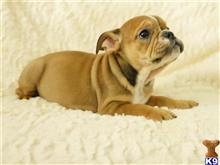english bulldog puppy posted by Alonzo2015