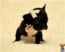 french bulldog puppy posted by Alonzo2015