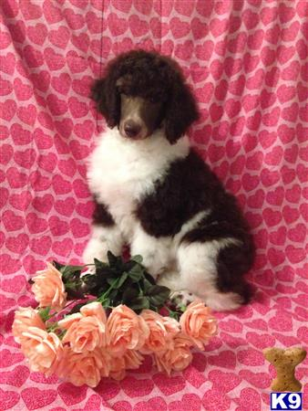 poodle puppy posted by AndreaBoggs
