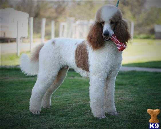 Poodle Stud Dog Champ Registered Red And White Parti For