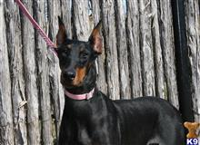 doberman pinscher puppy posted by AndreaBoggs