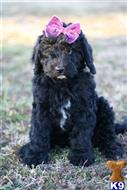 goldendoodles puppy posted by AndreaBoggs