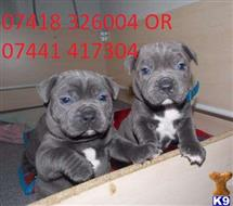 staffordshire bull terrier puppy posted by Angelinathompson