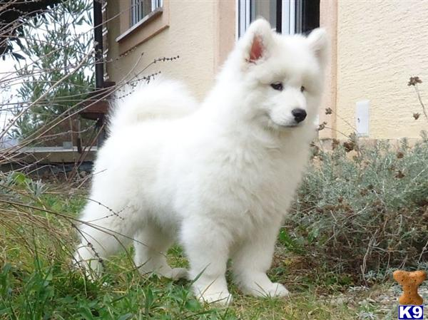 samoyed puppy posted by AnimaCandida