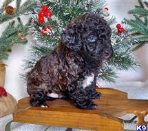 poodle puppy posted by Anna jack