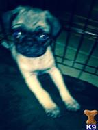 pug puppy posted by Ashee1