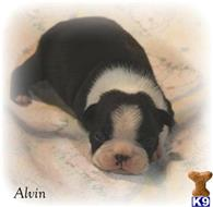 boston terrier puppy posted by BAMAS