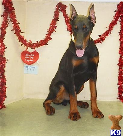 doberman pinscher puppy posted by BEARCREEKMOMMA