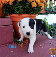 border collie puppy posted by BEARCREEKMOMMA