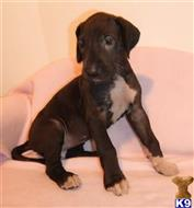 great dane puppy posted by BEARCREEKMOMMA