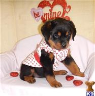 rottweiler puppy posted by BEARCREEKMOMMA