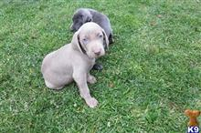 weimaraner puppy posted by BSSW