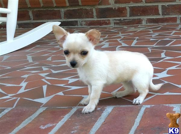 chihuahua puppies for sale in nc document moved 6969