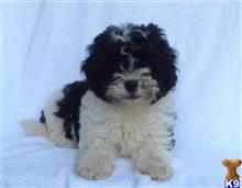 maltipoo puppy posted by BULLDOG21