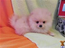 pomeranian puppy posted by Barbara225