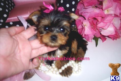 Yorkshire Terrier Puppy For Sale Spectacular Princess Marie Teacup