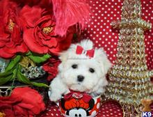 maltese puppy posted by BeautifulPuppies