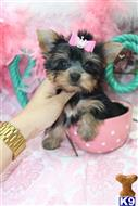yorkshire terrier puppy posted by BeautifulPuppies